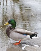 foto of duck pond  - Close - JPG