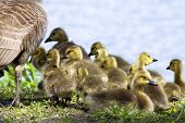 stock photo of baby goose  - Baby goslings huddled together near their mother goose.