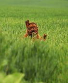 picture of dogue de bordeaux  - Dogue de Bordeaux puppy playing in green field - JPG