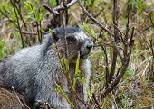 picture of marmot  - marmot surrounded by grass and bushes with grass hanging out of its mouth