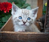 stock photo of siamese  - Sweet little Siamese kitten sitting in a basket with flowers around her - JPG