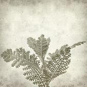 foto of tansy  - textured old paper background with silver tansy leaf - JPG
