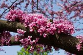 stock photo of judas tree  - pink flowers of the tree tsersis  - JPG