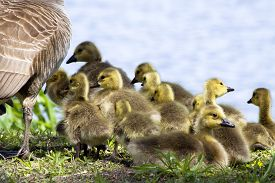 picture of huddle  - Baby goslings huddled together near their mother goose. ** Note: Visible grain at 100%, best at smaller sizes - JPG