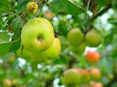 pic of apple orchard  - apples on an apple tree in an orchard - JPG