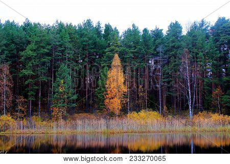 poster of Yellow autumn trees. Autumn nature. Russian forest. The northern forest. Nature Reserve. The autumn yellow woods. Golden autumn. Lake in autumn forest. Autumn forest reflected in the lake in september. Autumn landscape. The lake in Russia