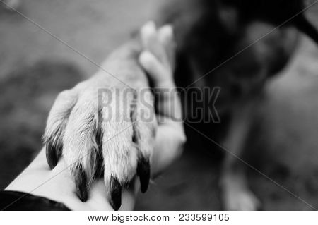 poster of Dog Paw Takes The Woman Hand. People Support Pets. Dog Sits And Gives His Paw Owner Hand. Best Frien