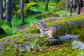 Siberian Chipmunk (eutamias Sibiricus) Sitting On A Mossy Stone poster