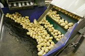 Fresh, Cleaned And Sorted Potatoes On A Conveyor Belt, Prepared For Packing. Automated Agriculture,  poster