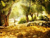 foto of olive trees  - Olive Trees - JPG