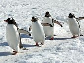 Gentoo Penguins In Antarctica