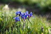 Wild Violet Iris Flower Growing In Nature, Summer Seasonal Floral Sunny Background. Flowers Growing  poster