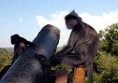 Monkey On Canon Kuala Selangor Malaysia poster
