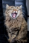Cute Funny Tabby Gray Cat Is Yawning poster
