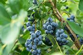 Fresh Blueberrys On The Branch On A Blueberry Field Farm poster