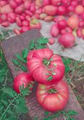 Pink Vegetables Of Tomato poster