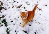 Red Kitten In Snow On Winter Walk. Beautiful Ginger Or Red Kitten On Snow Winter Background. Winter  poster