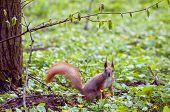 Постер, плакат: Squirrel In Summer Forest Closeup Of Cute Grey And Red Squirrel sciurus Vulgaris Curious Squirre