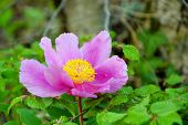 Closeup Of Tender Pink Wild Peony On Leaves Background. Blooming Pink Peony In Forest Spring Backgro poster