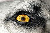 image of seeing eye dog  - A macro photo of a yellow dogs eye - JPG