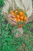 Wicker Basket Full Of Healthy Organic Yellow Tomatoes poster