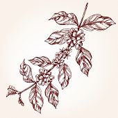 Coffee Tree Branch Freehand Drawing In Sketch Style. Coffee Plant Concept, Branch With Leaf And Bean poster