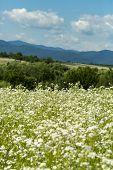 Alternative Medicine, Beautiful Nature Scene. Spring Chamomile Field, Natural Herbal Treatment. Cham poster