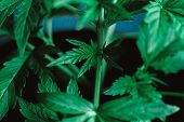 Leaves And Strokes Of A Young Cannabis Plant At The Stage Of Veg Plant Medical Marijuana Marijuana L poster