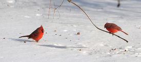 pic of cardinal-bird  - Cardinal birds on snow during bright day - JPG