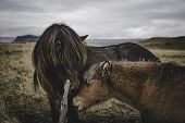 Northern Iceland Horses Walking And Walking Quietly Through Brown Grassy Meadows And Affectionate At poster