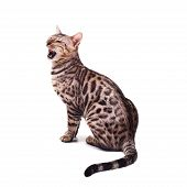 Bengali Cat Posing, Beautiful Cat Of Bengali Breed, Young Domestic Cat, Cat On A White Background poster