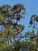 Fruit Bats, Also Known As Cambodian Flying Foxes, Hanging Upside Down While Asleep In Trees In The R poster