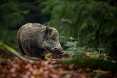 Sus Scrofa. The Wild Nature Of The Czech Republic. Free Nature. Picture Of An Animal In Nature. Beau poster