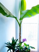 Growing Banana Tree Indoor. Indoor Tropical Corner poster