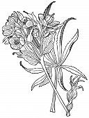 picture of helleborus  - Branch of Plant Helleborus foetidus on white background - JPG