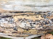 Dry Tree Trunk Close-up. Plane Tree Trunk Textured Background . poster