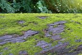 Tree Moss-grown. A Green Moss On A Trunk Of An Old Tree poster
