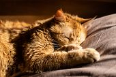 Fluffy Ginger Cat Sleeping In Bed On Beige Bedding poster