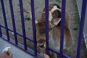 A Man Feeds A Doe Through A Cage poster