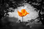 Orange Tulip Soul In Black White For Peace Heal Hope. The Flower Is Symbol For Power Of Life And Min poster