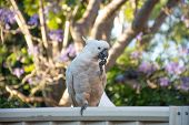 Sulphur-crested Cockatoo Seating On A Fence With Beautiful Blooming Jacaranda Tree Background. Urban poster