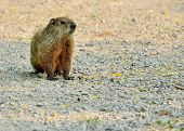 stock photo of groundhog  - A Groundhog standing in the middle of a gravel road - JPG