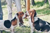 Two Tricolor Beautiful Adorable Basset Hounds Sitting On Grass. Dog Boy And Girl Looks At Each Other poster