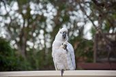 Sulphur-crested Cockatoo Seating On A Fence Eating Bread. Urban Wildlife. Australian Backyard Visito poster