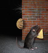 Rat With Cheese Hides From Cat poster