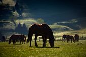 Beautiful horses on mountain pasture in summer poster