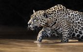 Close Up Of A Jaguar Walking In Water, Pantanal, Brazil. poster