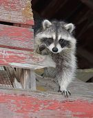 Raccoon in Barn