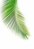 Постер, плакат: Листья пальмы