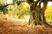 picture of grease  - Mediterranean olive field with old olive tree ready for harvest - JPG
